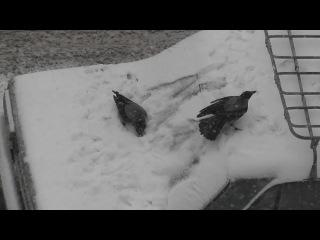 Обкуренные вороны